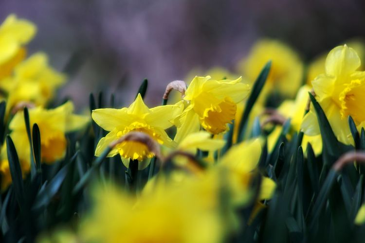 Daffodils EyeEm Best Shots EyeEm Nature Lover EyeEmBestPics EyeEm Best Shots - Nature Beauty In Nature Wonders Of Nature Flower Flower Head Yellow Rural Scene Leaf Multi Colored Close-up Plant Sky Green Color Flowering Plant Plant Life