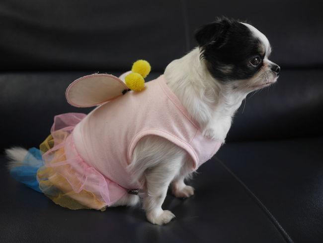 男の子だけどハロウィンだから女の子 チワワ Chihuahua Dog Halloween