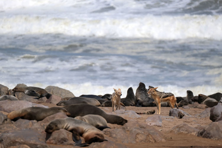 Cape cross seal reserve, namibia