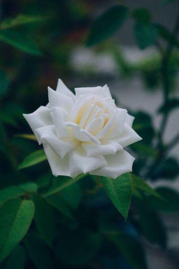 White rose Rosé