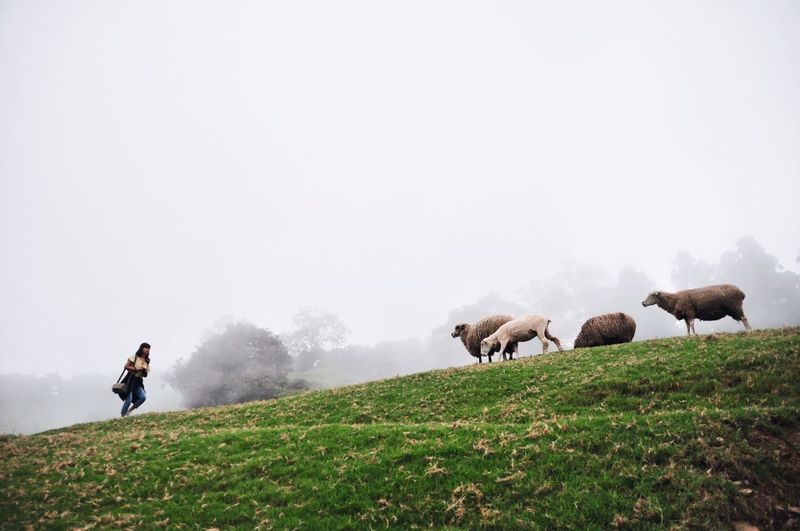 Woman walking on hill towards sheep against sky