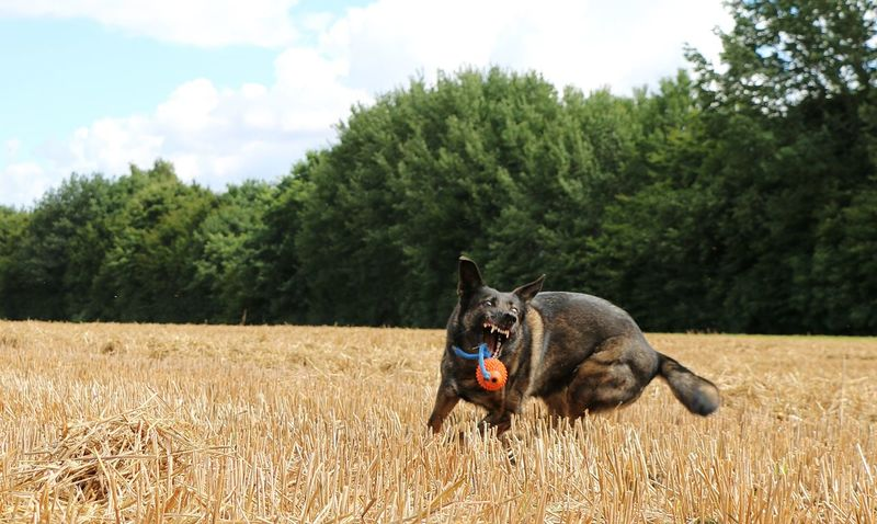 belgian shepherd have fun with toy on a stubble field EyeEm Pets Eyeem Funny Animals FUNNY ANIMALS Action Agriculture Animal Themes Belgian Malinois Cloud - Sky Day Dog Domestic Animals Field Funny Faces Landscape Mammal Nature One Animal Outdoors Pets Playing Shepherd Dog Stoppelfeld Stubble Field Toy Tree