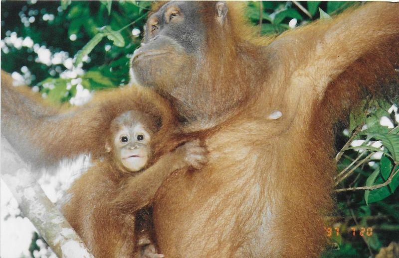 Animal Themes Conservation INDONESIA Mammal Mother And Baby Orangutan Sumatera Two Animals Wildlife