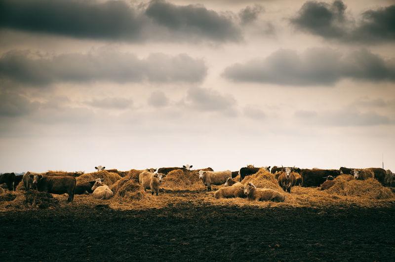 Cows On Farm Against Cloudy Sky
