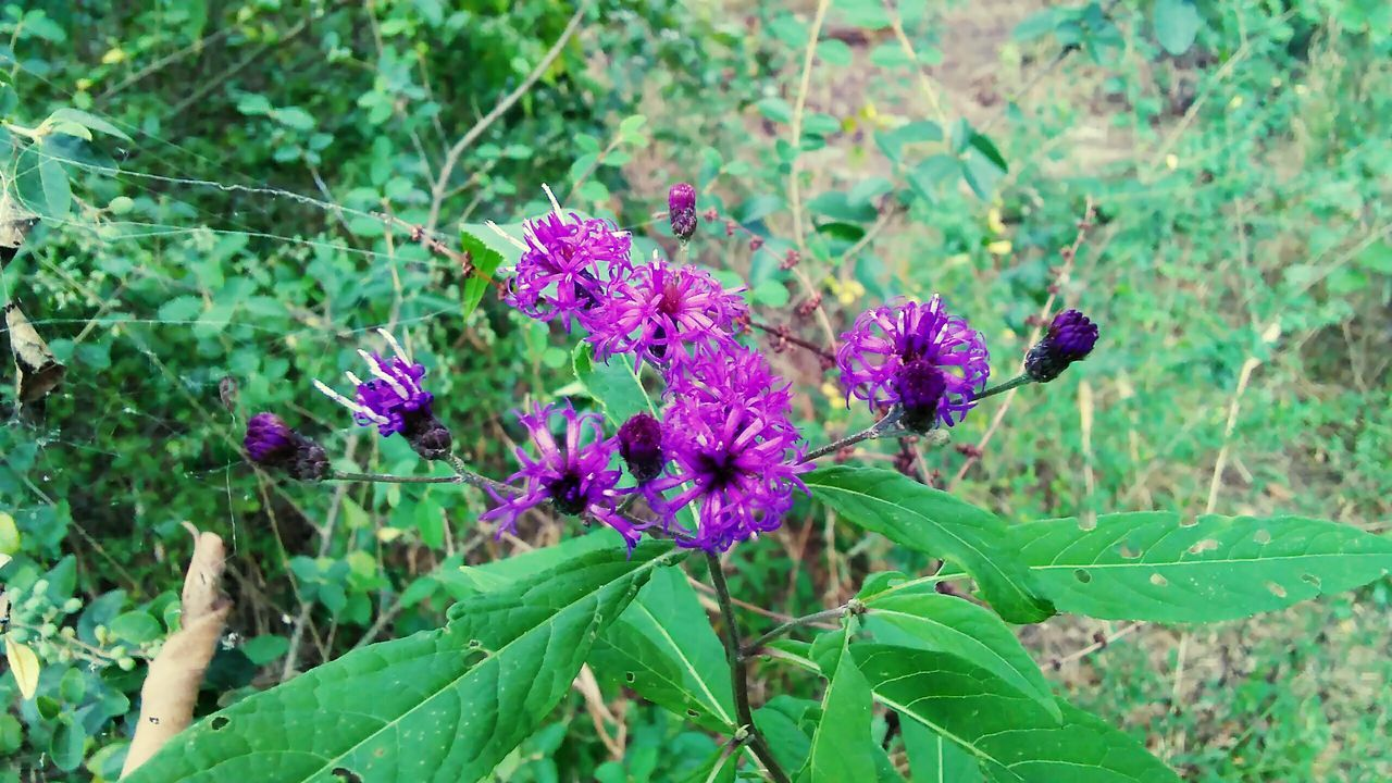 flower, plant, nature, growth, green color, fragility, purple, leaf, no people, beauty in nature, day, outdoors, freshness, flower head, close-up
