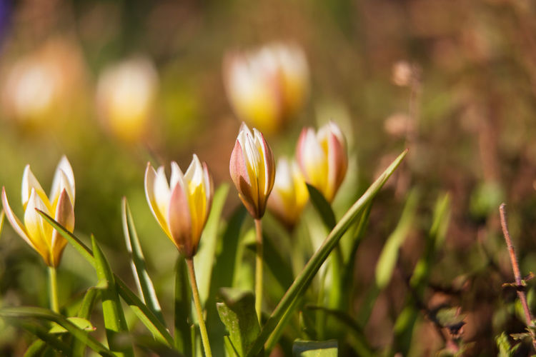 Tulips Flower Flowering Plant Plant Growth Freshness Close-up Beauty In Nature Vulnerability  Fragility Petal Nature Inflorescence Flower Head Day No People Focus On Foreground Outdoors Tulips Field Land Selective Focus Green Color Springtime Crocus