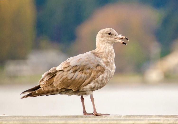 Just Birds Bird Vertebrate Animal Wildlife One Animal Animals In The Wild Focus On Foreground Perching No People Dove - Bird Full Length Mourning Dove Day Close-up Nature Outdoors Side View Retaining Wall Seagull
