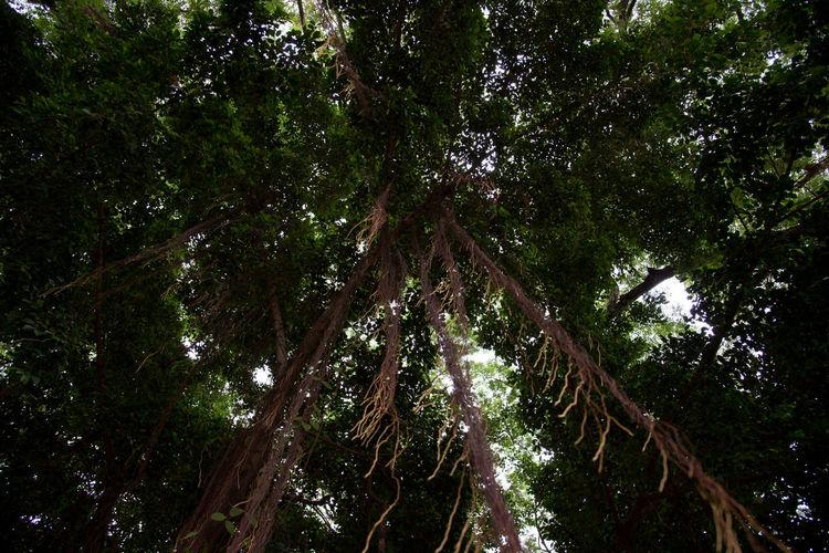 Background Backgrounds Banyan Banyan Tree Banyan Tree Roots Banyantree Growth Tree
