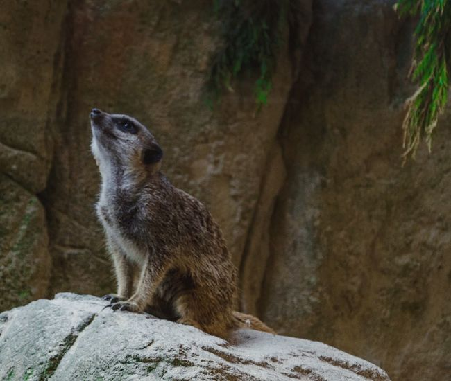 Meerkat Animal_collection Wildlife Dublin Zoo OpenEdit Getty Images Eyeem Market