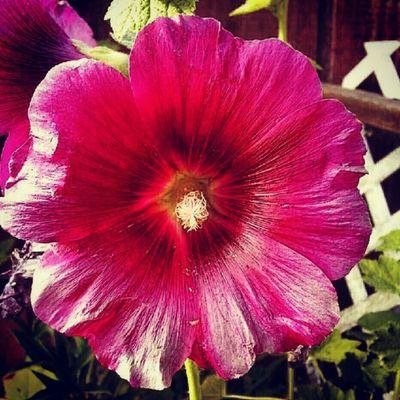 Pink Flower Summer