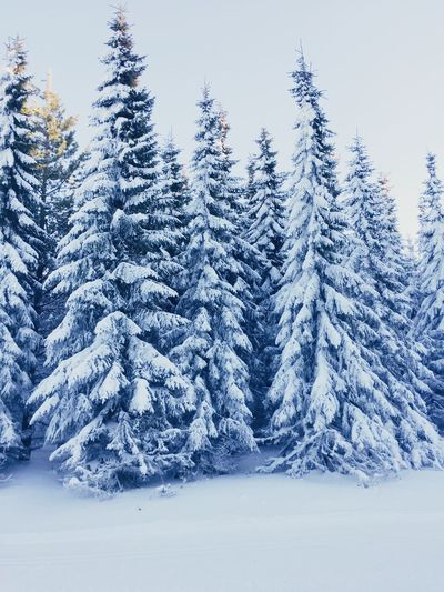 Snow covered pine trees in forest against sky