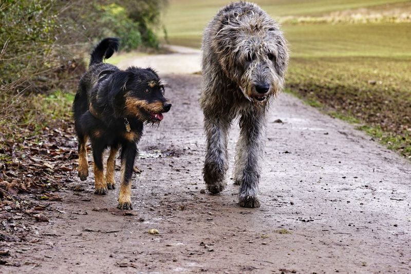 Dogs on dirt road