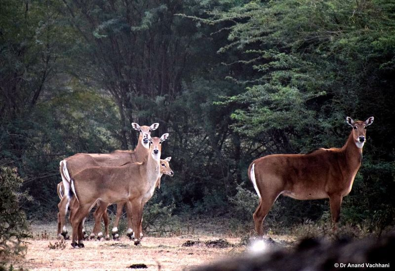 Blue bull Standing Deer Mammal Reindeer Tree Livestock Nature Animal Themes Animals In The Wild Animal Wildlife Outdoors