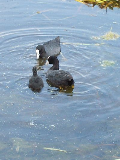 Animal Animal Family Animal Themes Animal Wildlife Animals In The Wild Bird Coot Day Group Of Animals High Angle View Lake Nature No People Swimming Vertebrate Water Water Bird Waterfront