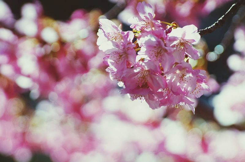 Flower Blossom Beauty In Nature Nature Close-up Fragility Tree Growth Petal Springtime Freshness Pink Color Flower Head Natureflower Flower Collection Sakuraflowers Branch