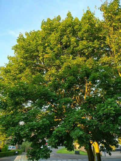 Tree Nature Growth Outdoors Green Color Day No People Sky Branch Beauty In Nature Freshness