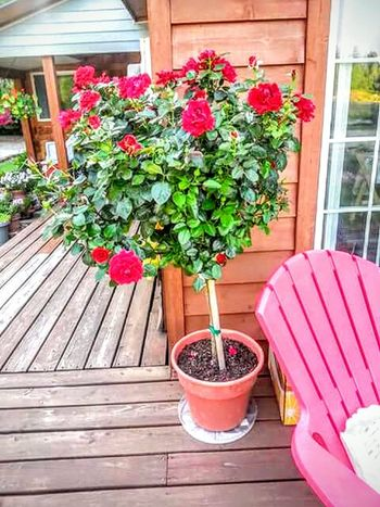 Rose Tree Roses🌹 Roses Are Red Rose - Flower Girls Love Roses Give Me Roses Ring Around The Rosie Rose Red The Week Of Eyeem Nature Photography Natures Magic 2016 EyeEm Awards Beauty In Nature Hidden Gems  43 Golden Moments Home Is Where The Art Is