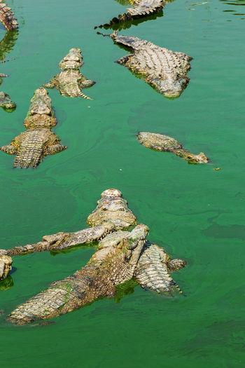 High angle view of crocodiles swimming in lake