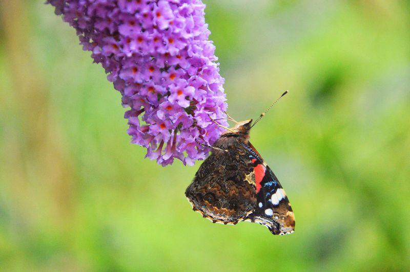 Close-Up Of Butterfly On Purple Lantana Camara