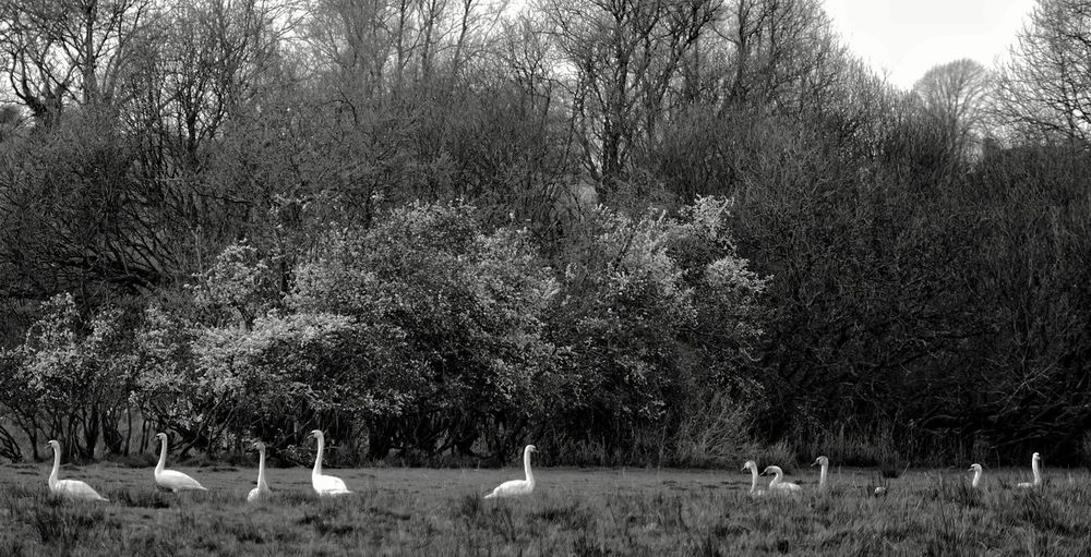 No People Field Sky Day Grass Outdoors Tree Growth Nature Swans Swans & Cygnets The Great Outdoors - 2017 EyeEm Awards Perspectives On Nature 10