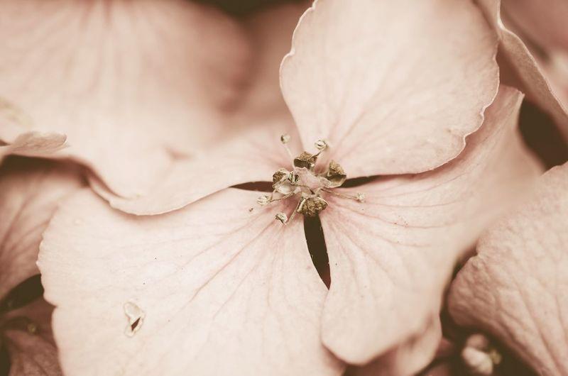 Close-up of hydrangeas