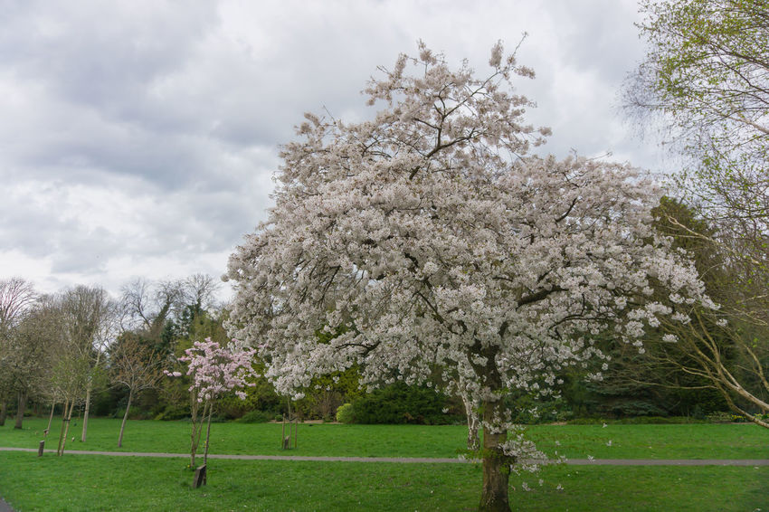 Cherry blossom trees in a park in springtime Blur Background Center Focus Cloudy Sky Countryside Day Daytime Green Green Grass Lush Foliage Outdoors Outside Photography Park Pathways Pink Cherry Blossoms Rural Scene Tree Branches Tree Tops And The Sky Tree Trunks
