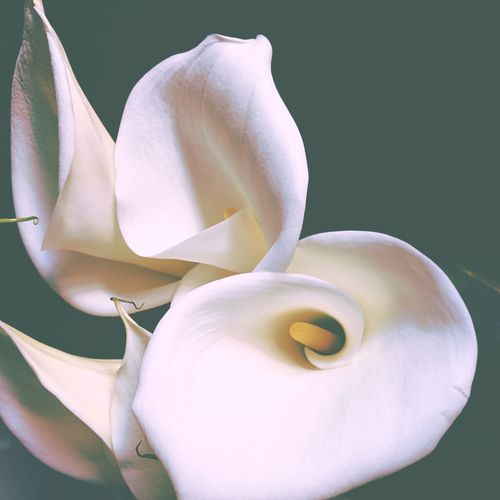 Close-up of calla lilies against black background