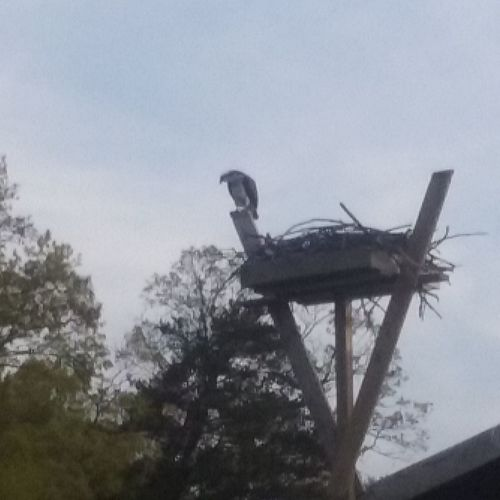 Offsprey Watching Over Her Nest Birds My Backyard Oasis On The Water No People California MD USA