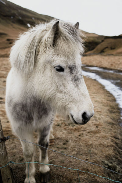 icelandic poneys are without a doubt the cutest poneys ever Moody Feature Boudoir Mood Emeyebestshot Emotions EmEyeNewHere Emeyebestpics EmEyeNewPhoto Iceland Landscape Featuremeinstagood Symmetrykillers Exklusive_shot CreateExplore Visualsgang Artofvisuals Agameoftones Theimaged Imaginatones Igmasters Visualoflife Illgrammers Animal Wildlife Day Outdoors Animals In The Wild Close-up Cold Temperature Nature