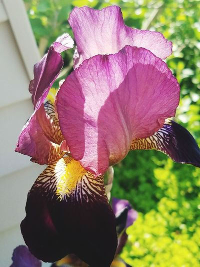 Flower Purple Nature Fragility Beauty In Nature Petal Outdoors Close-up Focus On Foreground Flower Head Freshness Day Iris - Plant Growth No People The Purist (no Edit, No Filter) EyeEm Flower Spring 2017 EyeEm Gallery Popular Photos Plant Freshness Nature