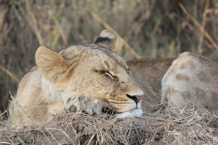 Close-Up Of Lioness Sleeping In Forest
