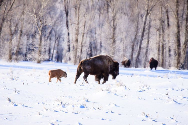 American Bison with Calf Bison With Calf Animal Themes Mammal Animal Snow Winter Cold Temperature Group Of Animals Vertebrate Land Field Tree Day Nature Animal Wildlife American Bison Animals In The Wild Landscape Environment
