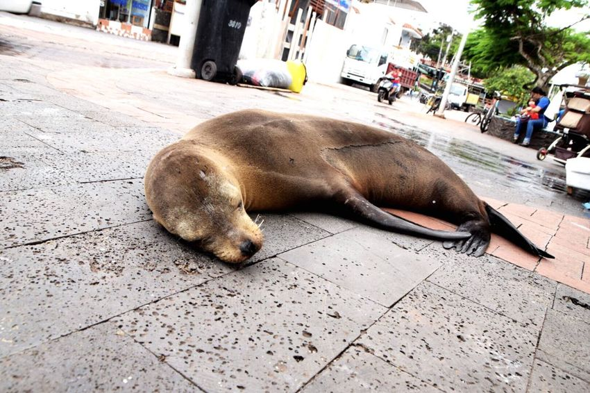 Sleeping Nap Time Sealion  Animals Peace Galapagos Islands Southamerica