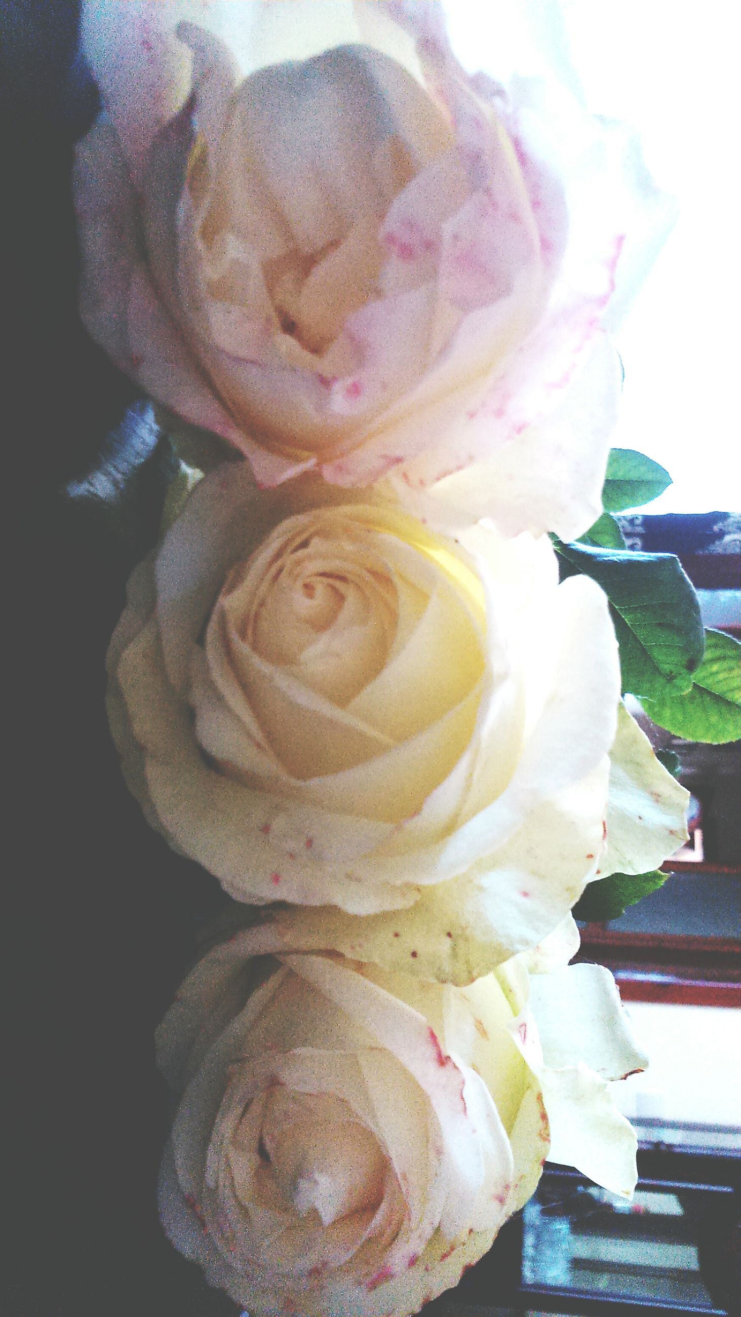 flower, petal, freshness, flower head, rose - flower, fragility, close-up, indoors, single flower, beauty in nature, nature, rose, no people, plant, growth, vase, blooming, day, focus on foreground