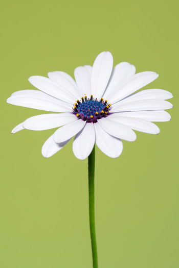 Osteospermum 2 Copy Space African Daisy Beauty In Nature Close-up Colored Background Daisy Flower Flower Head Flowering Plant Fragility Freshness Green Background Growth Inflorescence Nature No People Osteospermum Petal Plant Pollen Purple Studio Shot Vulnerability