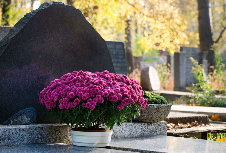 Bunch of pink Chrysanthemum in flowerpot on grave, flower standing on cement slab grave in Poland. Sunny weather in autumn day. Autumn Cementary Cemetery Chrysanth Chrysanthemum Dendranthema Flower Flowering Flowerpot Flowers Grave Graves Gravestone No People Ornamental Outdoors Pink Plant Poland Religion Slab Thombstone Thombstones Tombstone Tombstones