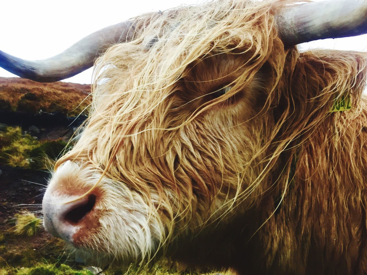 Close-Up Of Highland Cattle On Field