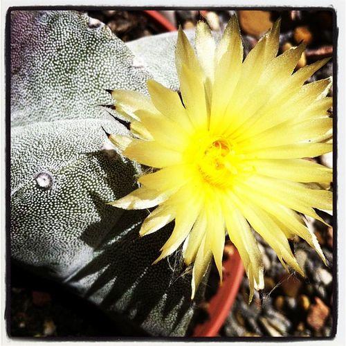 Cactus Astrophitum Flower Nature ink361