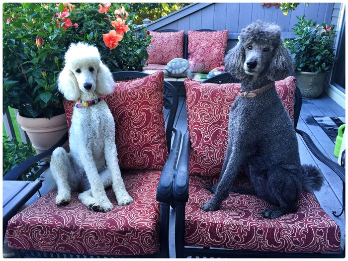 Standard Poodle Dog I Love My Dog Cute Pets Summer OpenEdit Dogs Eye4photography  EyeEm Nature Lover Love