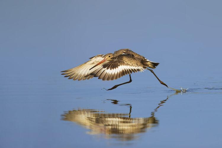 【神奇的高邮湖】黑尾塍鹬水上飞