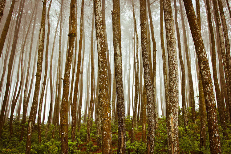 A vertical pattern of the pine forest in the misty morning Abundance Backgrounds Beauty In Nature Coniferous Tree Day Environment Evergreen Tree Forest Growth Land Low Angle View Nature No People Non-urban Scene Outdoors Pine Tree Pine Trees Pine Woodland Plant Scenics - Nature Tranquility Tree Tree Trunk Trunk WoodLand
