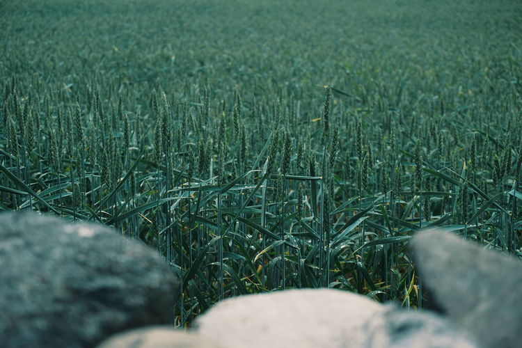 agricultural field , wheat growing, still green Wheat Wheat Field Weat Field Agriculture Agricultural Land Green Green Color Greenery EyeEm Selects Field Close-up Grass Agricultural Field Farmland Cultivated Land Ear Of Wheat Plantation Wheat Cereal Plant Farm Crop