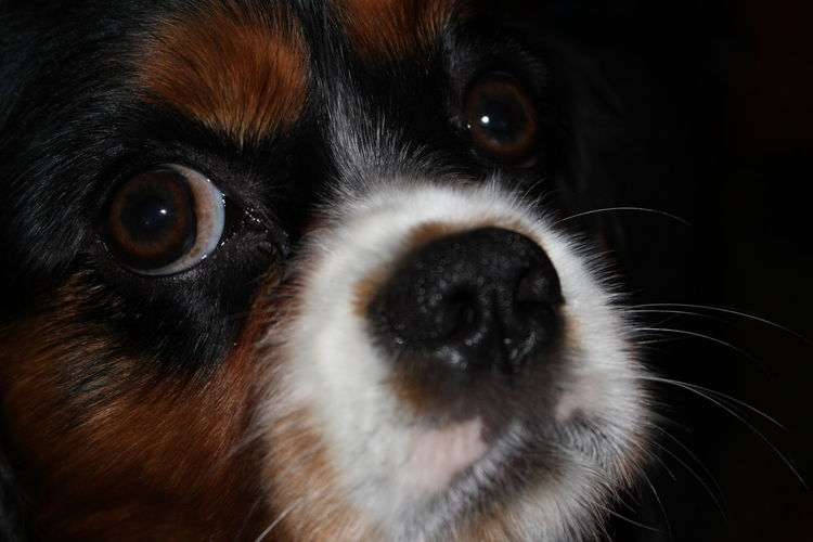 Animal Head  Animal Themes Close-up Dog Eye4photography  EyeEm Gallery EyeEm Nature Lover King Charles Cavalier No Filter No Filter, No Edit, Just Photography Portrait Pets Corner Pet Photography