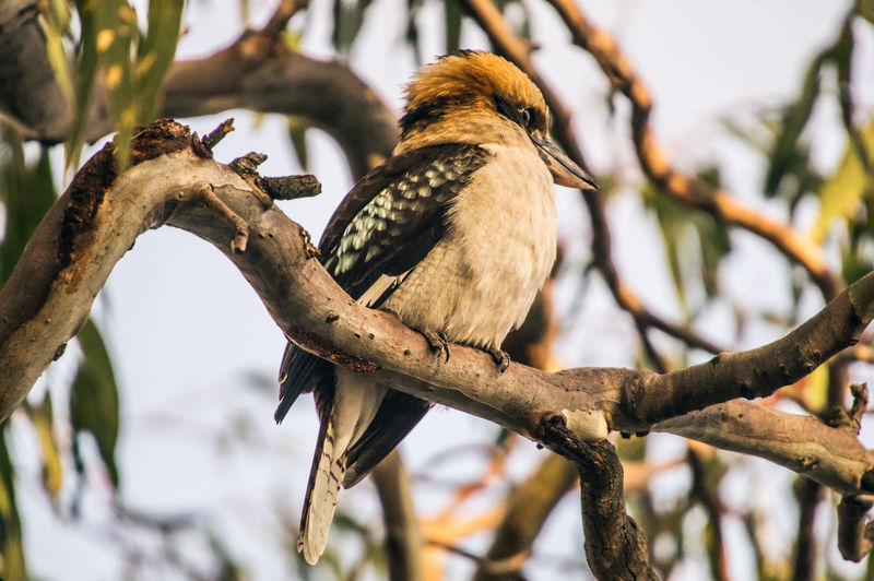 Low Angle View Of Kookaburra Perching On Branch