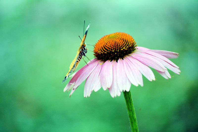 Close-up of butterfly pollinating on eastern purple coneflower