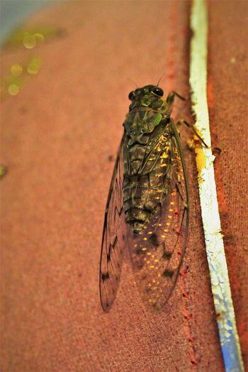 Cicada on the