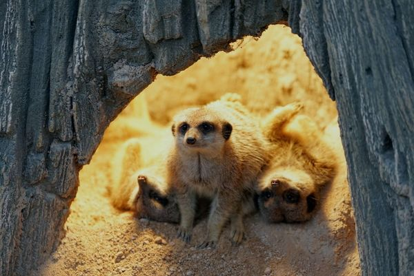 Family Portrait GoodTimes Sunny Hole Time To Relax Erdmännchen EyeEm Nature Lover Yellow Color Light Meerkats Meerkat Family Family Time Meerkat In A Tree Meerkat Animal Wildlife Meerkat Animals In The Wild Mammal Young Animal Outdoors Animal Themes Togetherness No People Nature Close-up Day