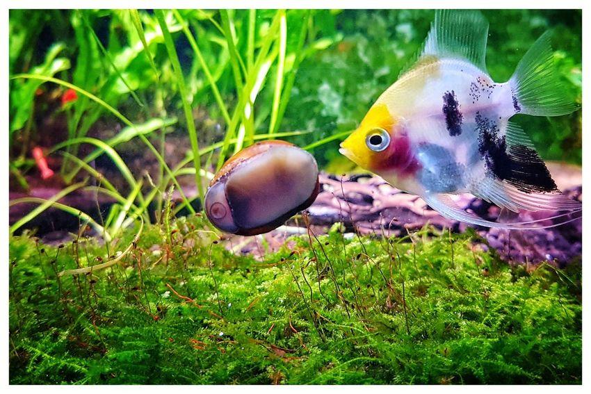 A curious Koi Angelfish scrutinizes a Tiger Nerite Snail cleaning my aquarium glass. 😉 Snail Angelfish Aquarium Pet Photography  Plantedaquarium