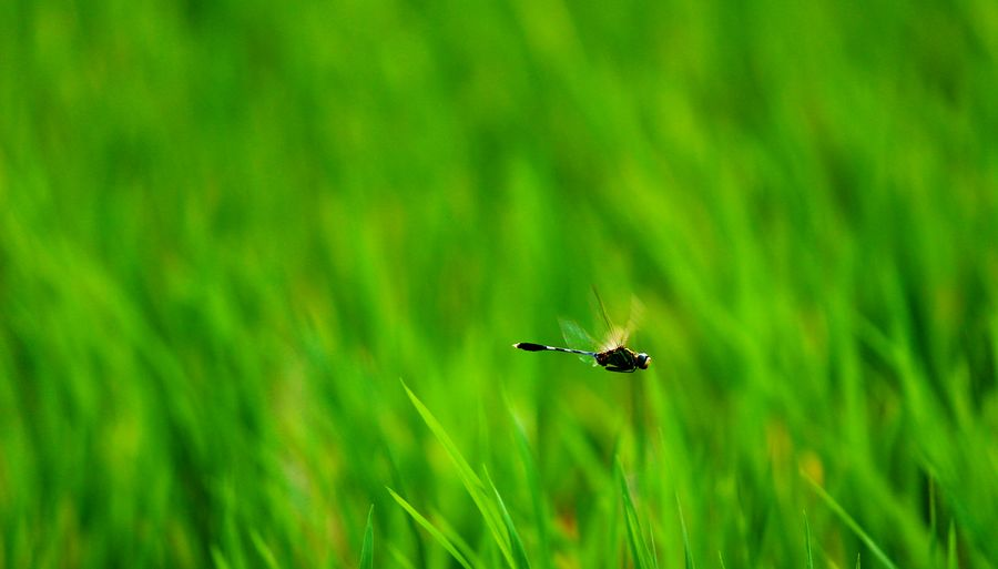 Dragonfly flying over grass