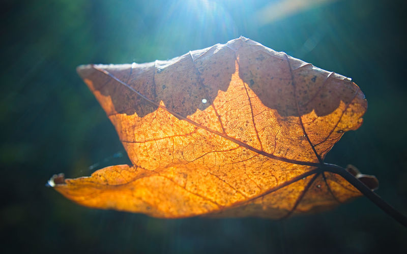 Close-up of dry maple leaf on tree